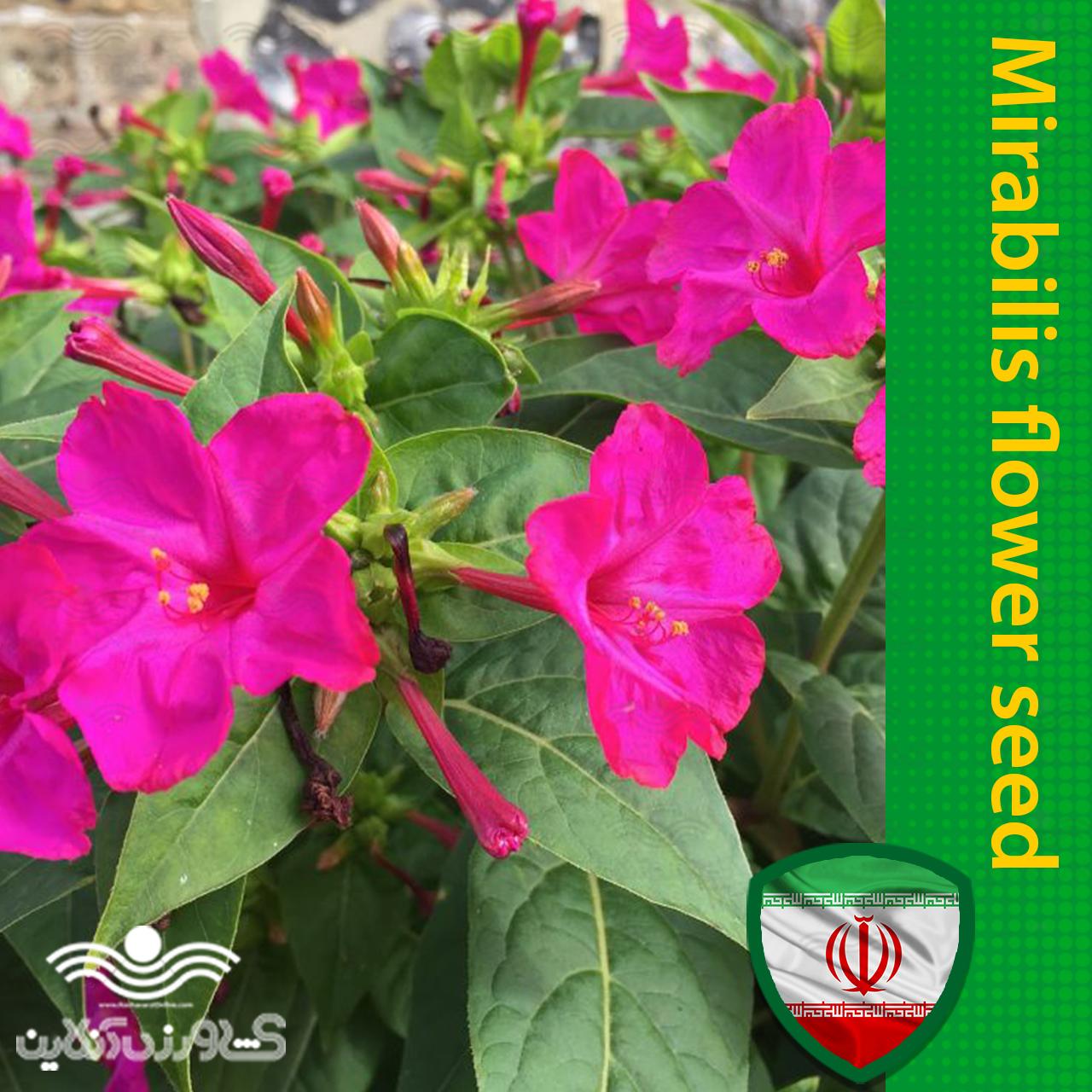 بذر گل لاله عباسی سرخ آبی و روش کاشت آن