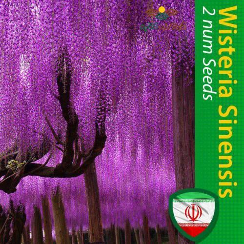 بذر درخت پیچ گلیسین یا گل ویستریا و روش کاشت ویستریا