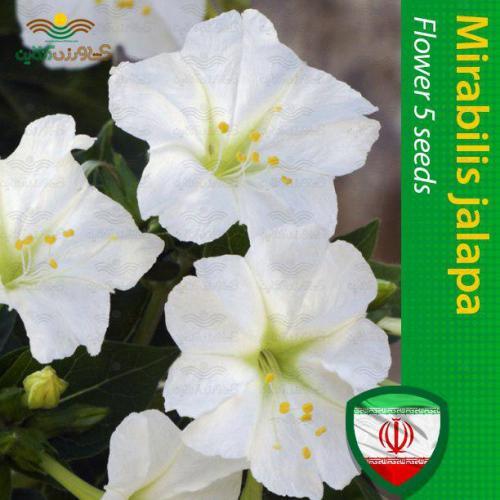 بذر لاله عباسی سفید و روش کاشت گل لاله
