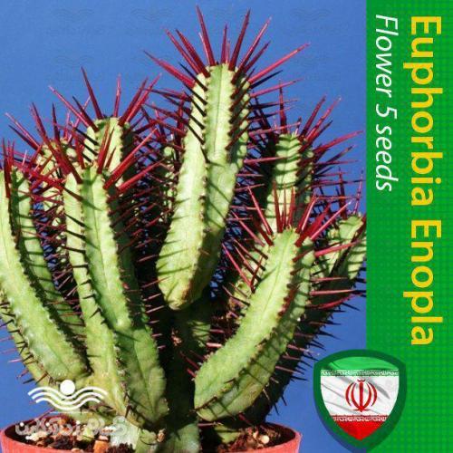 بذر کاکتوس افوربیا انوپلا و روش تکثیر کاکتوس