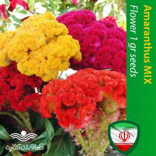بذر گل تاج خروس الوان و روش کاشت تاج خروس