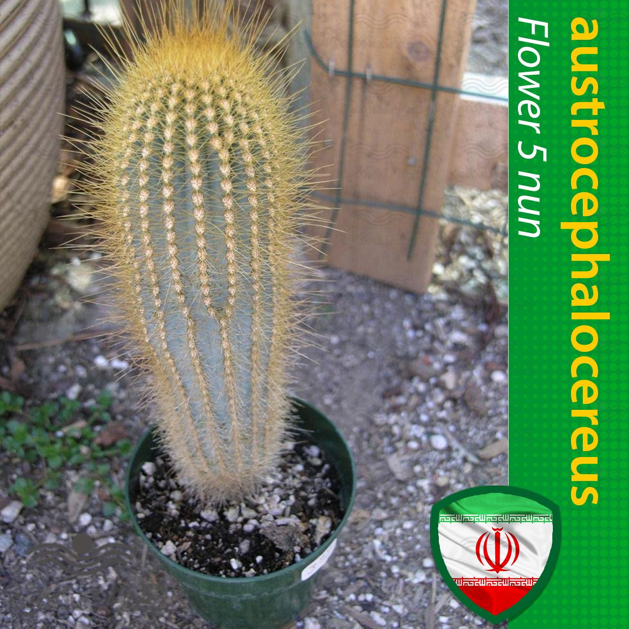 بذر کاکتوس آسترو سفالو سریوس و آموزش کاشت بذر کاکتوس