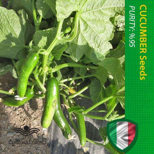 بذر خیار خانگی پر محصول خارجی هیبرید اف یک