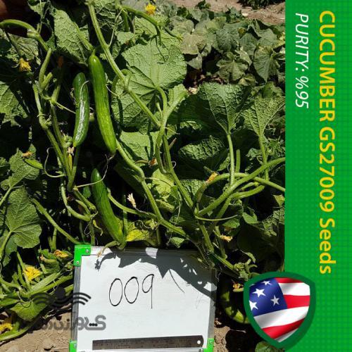 بذر خیار آمریکایی گلوریا