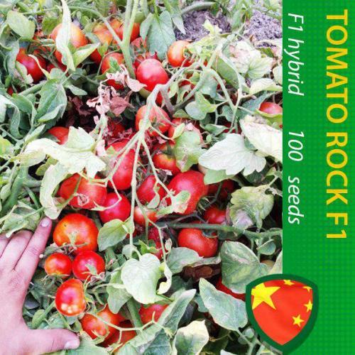 گوجه فرنگی بسیار پرمحصول راک هلند