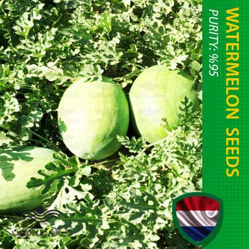 بذر هندوانه سفید چارلستون اف یک هلند