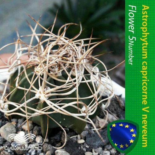 بذر کاکتوس آستروفیتوم کاپریکورن