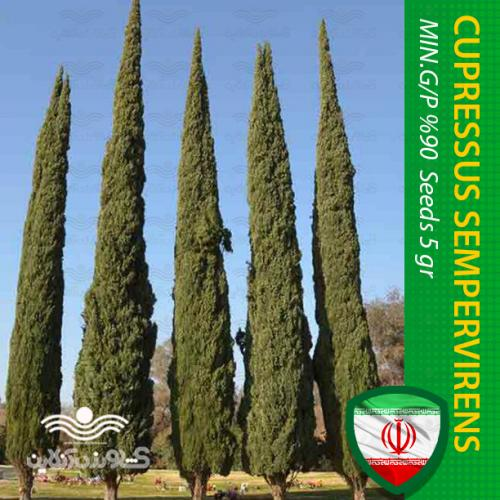 بذر سرو شیراز و روش کاشت سرو
