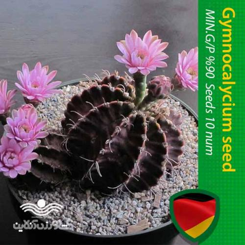 بذر گل کاکتوس رنگی ژمینو شکلاتی