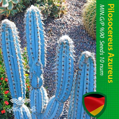 بذر کاکتوس پیلوسریوس آبی