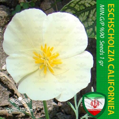 بذر گل شقایق کالیفرنیایی پا کوتاه سفید