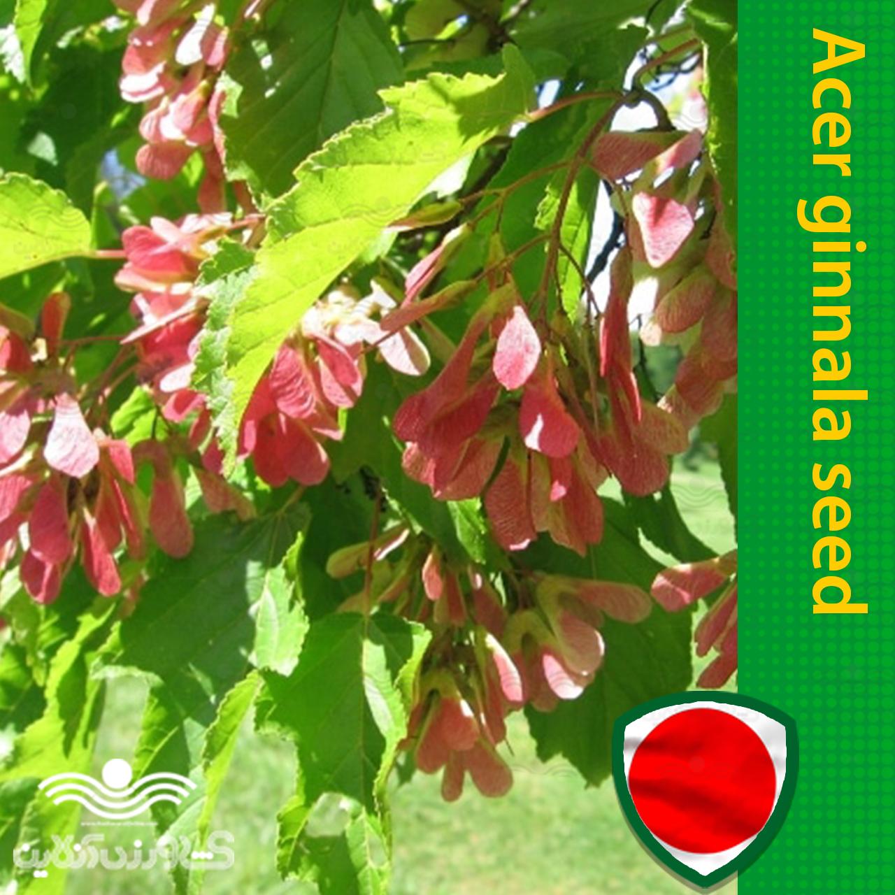 بذر درخت افرا جینانلا و روش کاشت