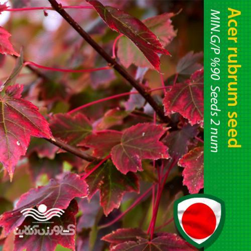 بذر درخت افرا روبروم قرمز و روش کاشت