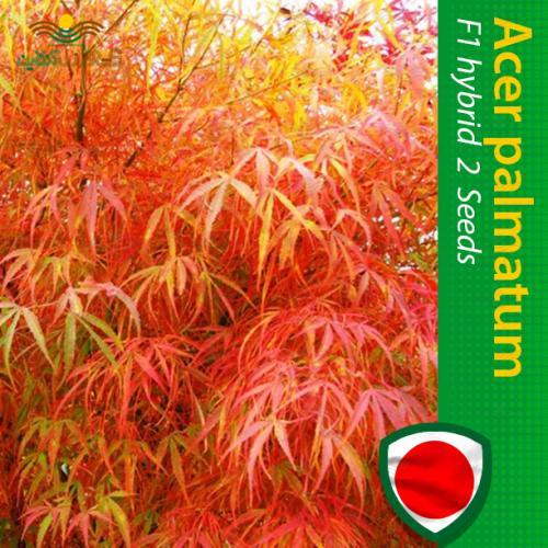 بذر درخت افرا پالماتوم اتراب و روش کاشت