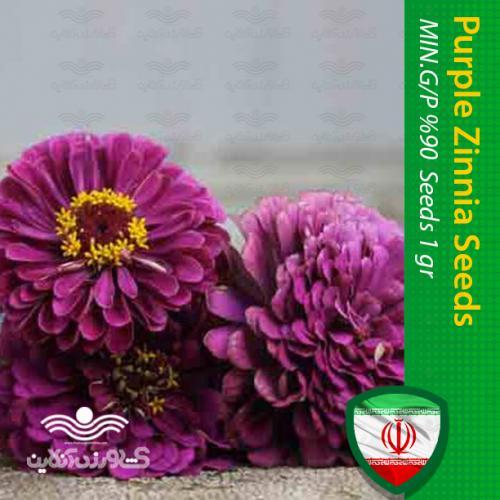 بذر گل آهار پا کوتاه ارغوانی و روش کاشت