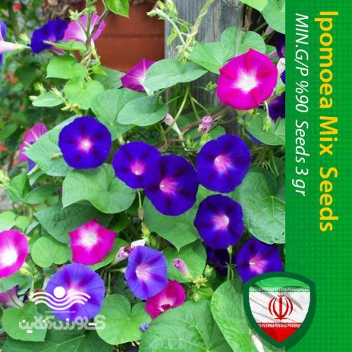 بذر گل نیلوفر رونده الوان و روش کاشت