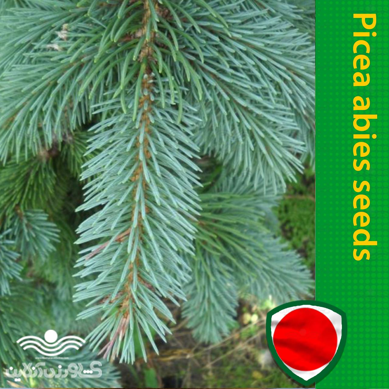 بذر کاج کریسمس نوئل سبز آبی و روش کاشت کاج کریسمس نوئل سبز آبی