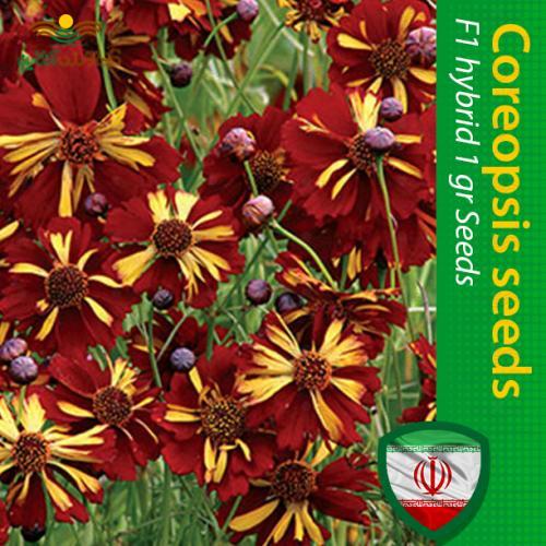 بذر گل کوریوپسیس اشرفی قرمز و روش کاشت