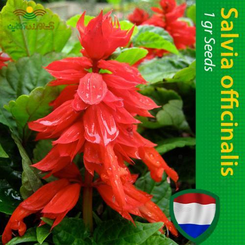 بذر گل سلوی پا کوتاه قرمز و روش کاشت
