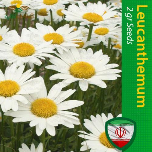 بذر گل مارگریت پا بلند سفید و روش کاشت گل مارگریت پا بلند سفید