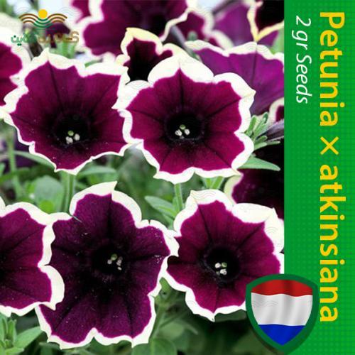 بذر گل اطلسی بنفش و روش کاشت