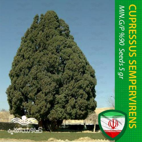 بذر درخت سرو تهران و روش کاشت