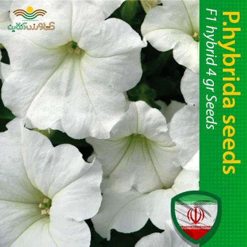 بذر اطلسی گل درشت سفید و روش کاشت