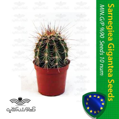 بذر کاکتوس کارنژیا یا ساگوارو