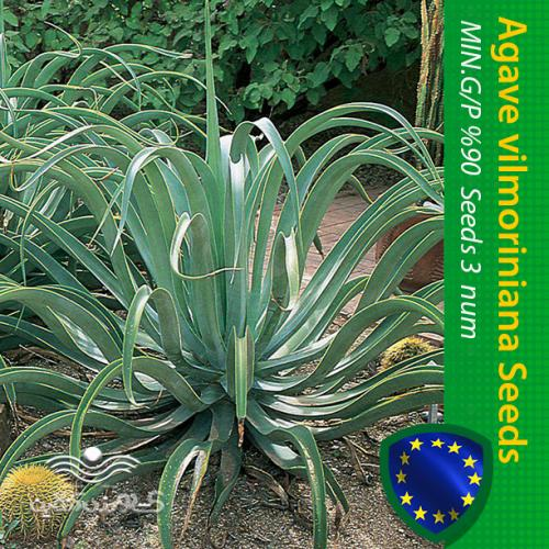 بذر کاکتوس آگاو ویلمورینیا