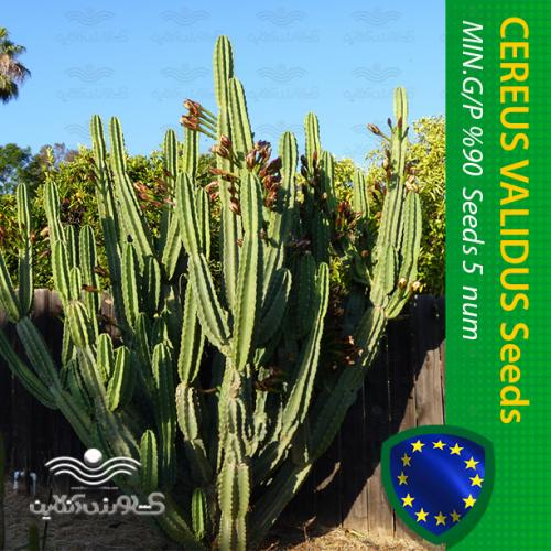 بذر گل کاکتوس سریوس پریانوس