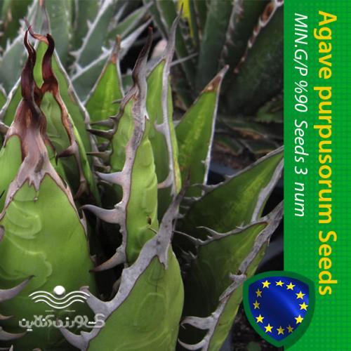 بذر کاکتوس آگاو پورپوسوروم