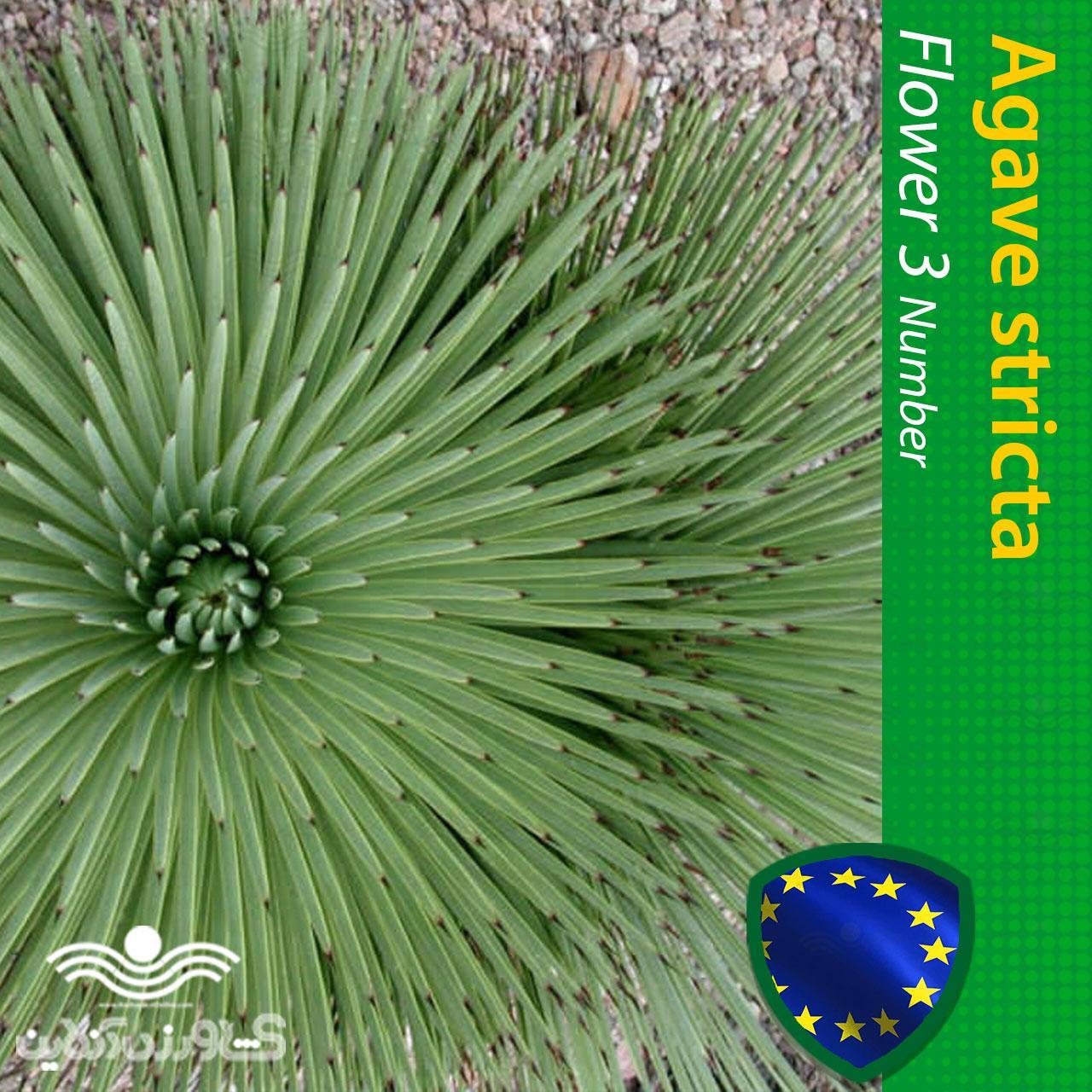 بذر گل آگاو استریکتا