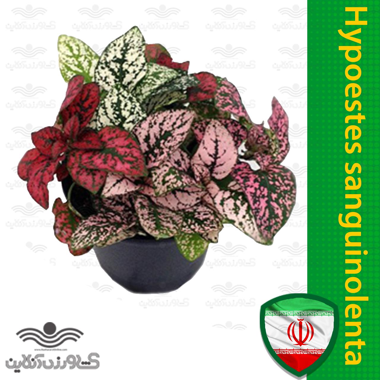 بذر گل سنگ خارجی f1
