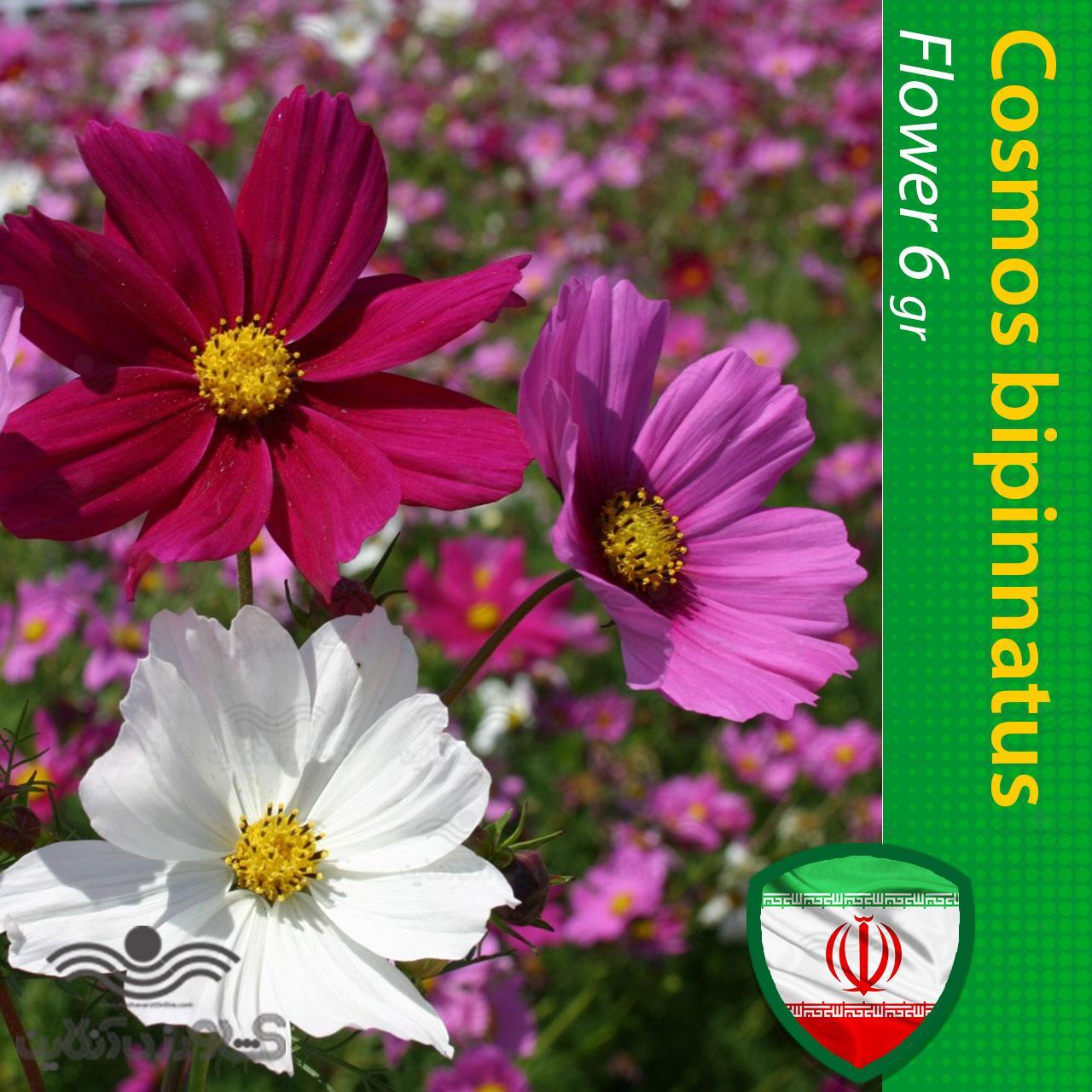 بذر گل ستاره ای و روش کاشت