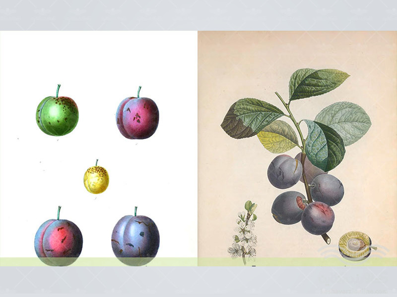 Botanical-Plum1