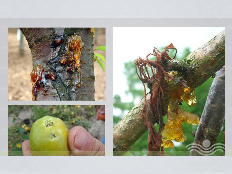 bacterial-canker-disease2