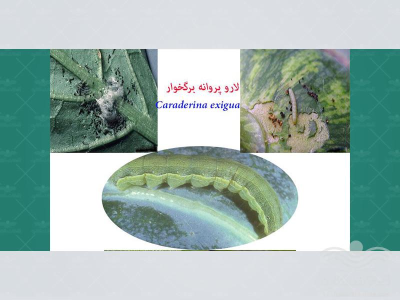 caraderina-exigua-hb3