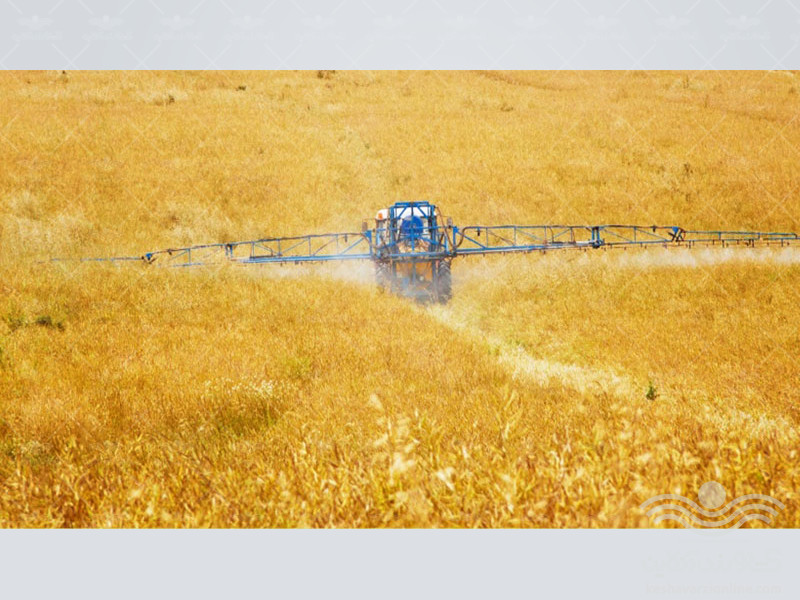 combating-weeds-in-wheat-fields1