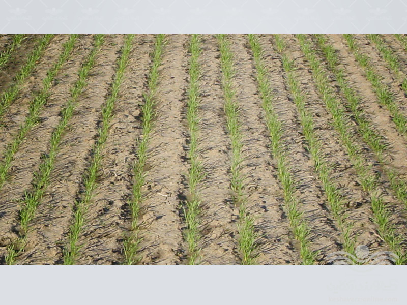 combating-weeds-in-wheat-fields3