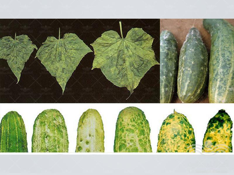 cucumber-mosaic-virus2