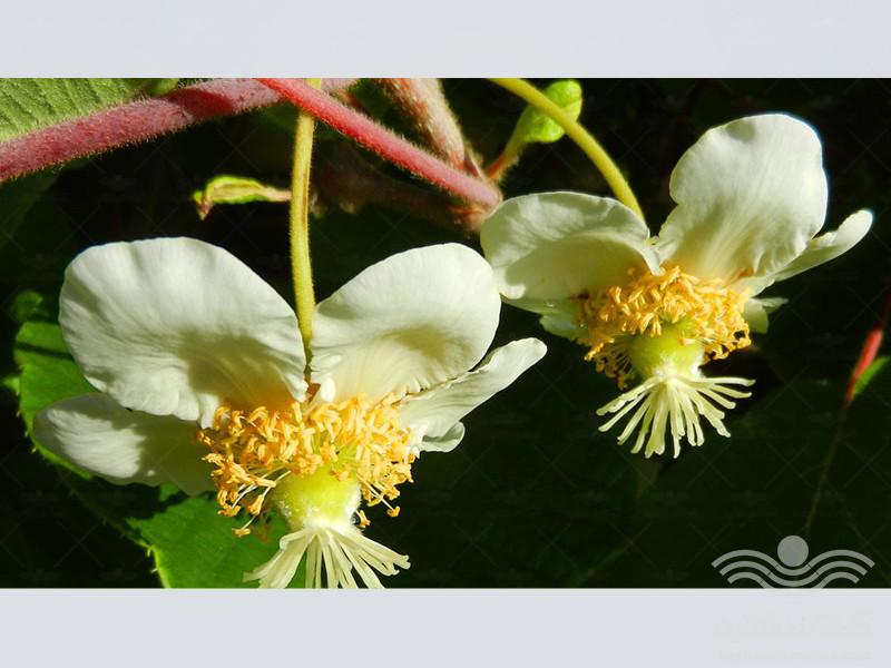 history-and-importance-of-kiwi-fruit1