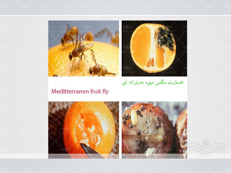mediterranean-fruit-fly5