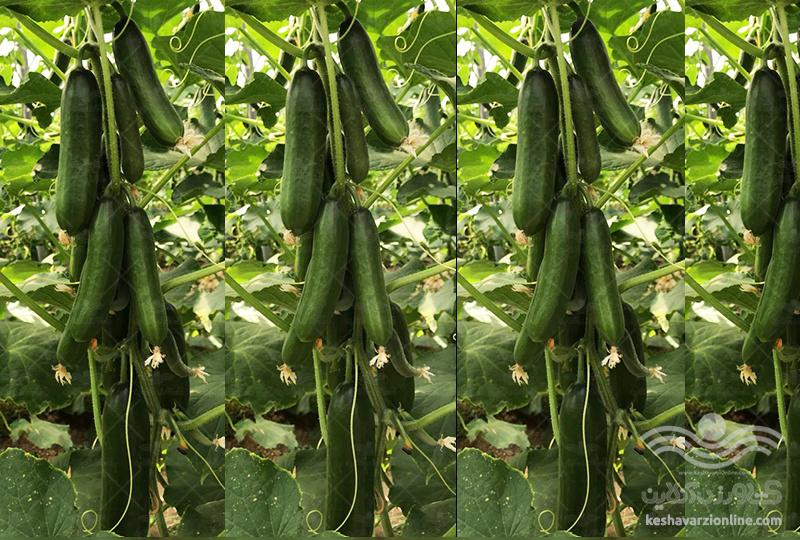 بذر خیار مینی پرگل مینی استار