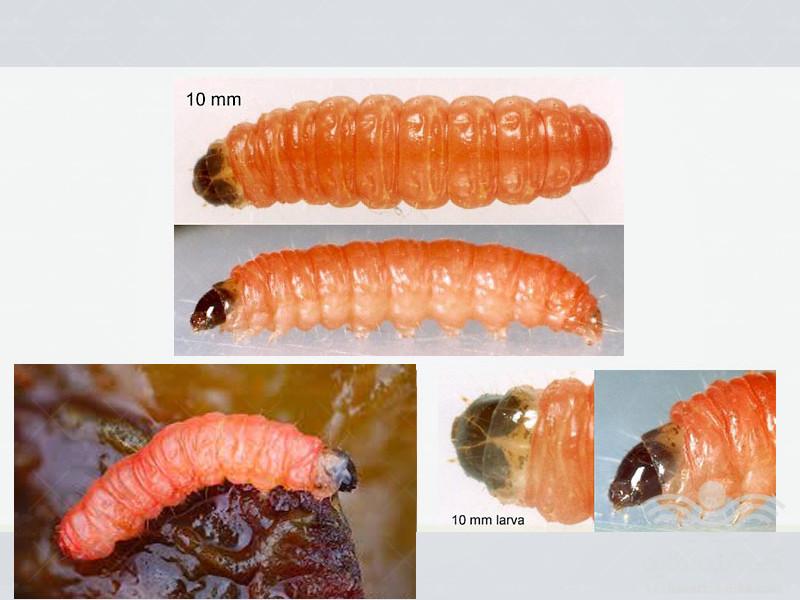 plum-fruit-moth3
