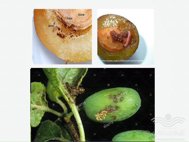 plum-fruit-moth4