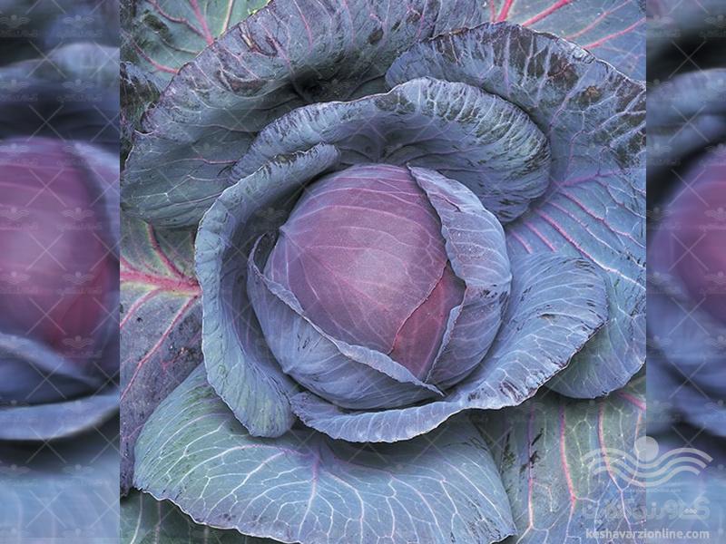 بذر کلم پیچ قرمز یا کلم برگ قرمز رابی کوئین تاکی ژاپن