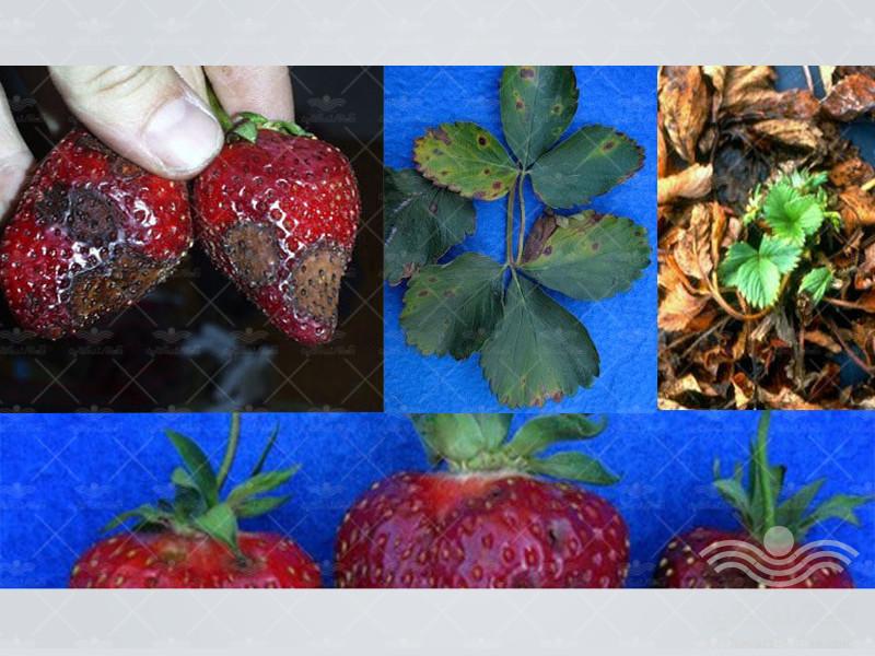 strawberry-diseases3
