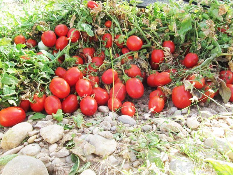 بذر گوجه فرنگی 6216 سانسید