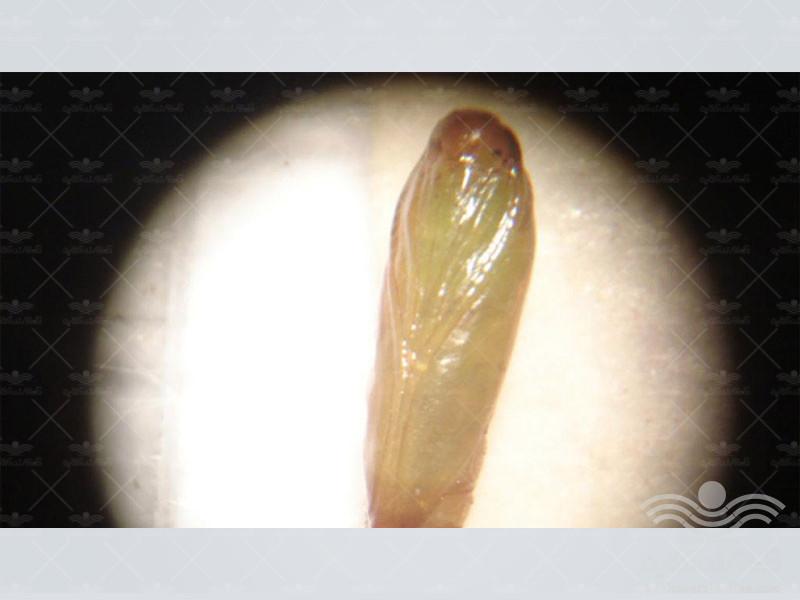 tomato-leafminer-moth-tuta3