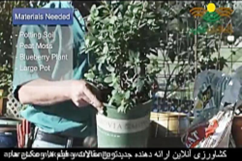 رشد ذغال اخته در گلدان